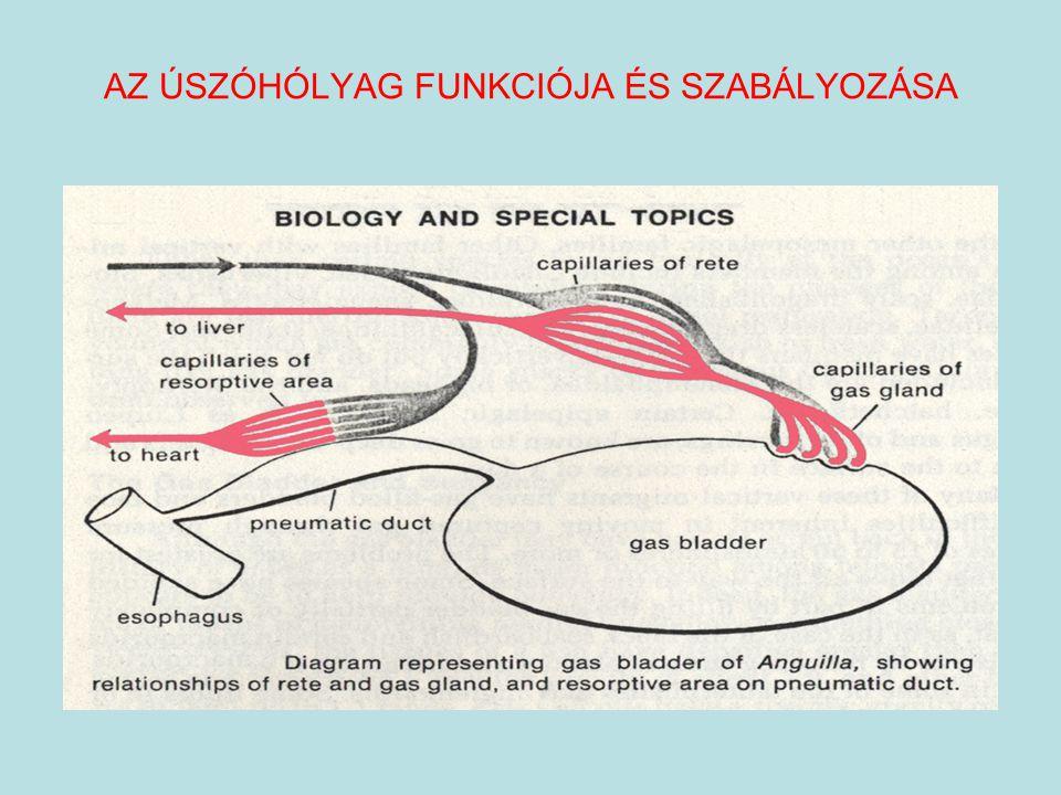 """Úszóhólyag működésének neurális szabályozása Szimpatikus hatások: coeliaco-mesenterialis ganglion Paraszimpatikus hatások: nervus vagus Inflatorikus reflex:hidrosztatikai nyomás   gáztermelés  Deflatorikus reflex: hidrosztatikai nyomás  - hipoxia  gáz reszorpció  ÚSZÓHÓLYAG SPECIÁLIS FUNKCIÓJA: Hangérzékelés + hangképzés  """"rezonátor"""