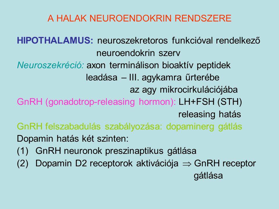 HIPOTHALAMUS: neuroszekretoros funkcióval rendelkező neuroendokrin szerv Neuroszekréció: axon terminálison bioaktív peptidek leadása – III. agykamra ű