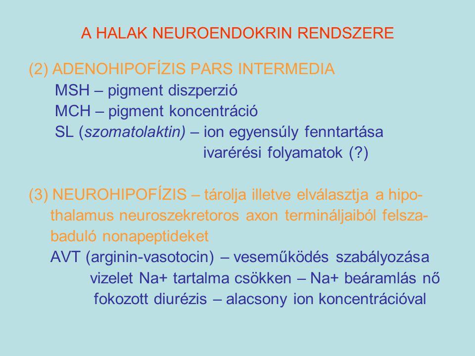 A HALAK NEUROENDOKRIN RENDSZERE (2) ADENOHIPOFÍZIS PARS INTERMEDIA MSH – pigment diszperzió MCH – pigment koncentráció SL (szomatolaktin) – ion egyens