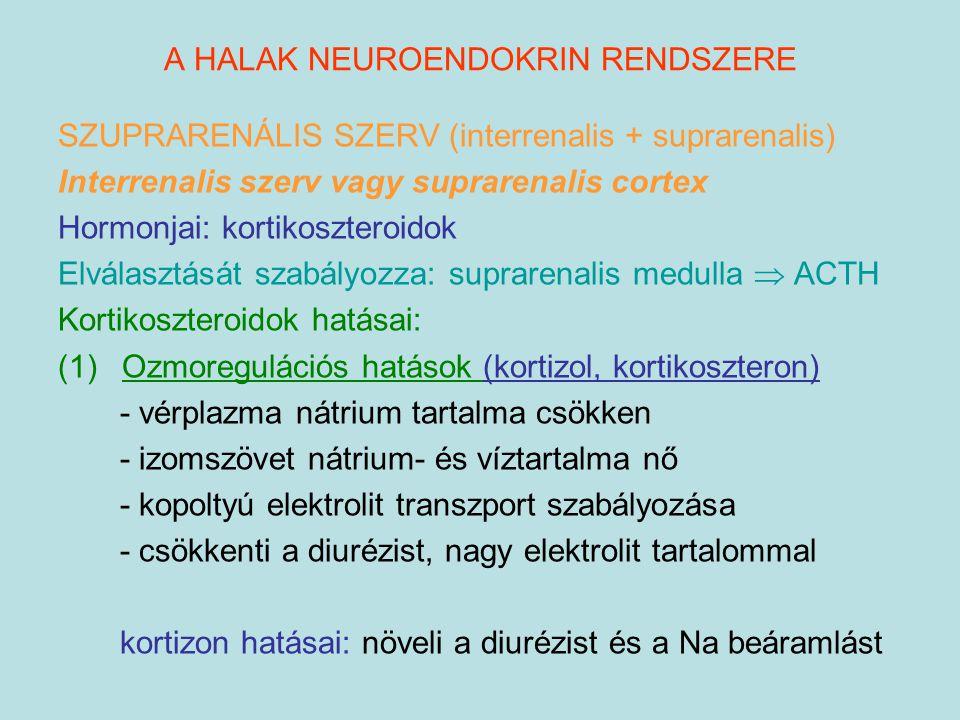 A HALAK NEUROENDOKRIN RENDSZERE SZUPRARENÁLIS SZERV (interrenalis + suprarenalis) Interrenalis szerv vagy suprarenalis cortex Hormonjai: kortikosztero