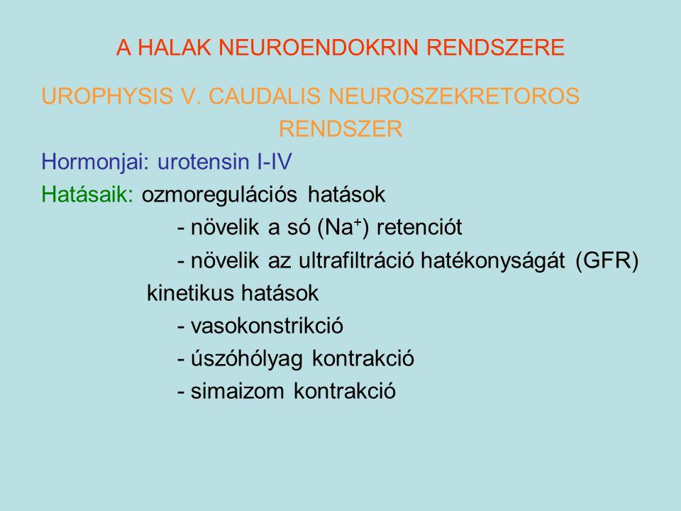 A HALAK NEUROENDOKRIN RENDSZERE UROPHYSIS V. CAUDALIS NEUROSZEKRETOROS RENDSZER Hormonjai: urotensin I-IV Hatásaik: ozmoregulációs hatások - növelik a