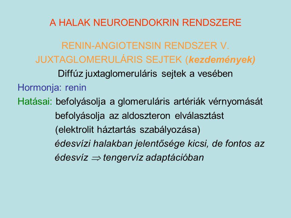 A HALAK NEUROENDOKRIN RENDSZERE RENIN-ANGIOTENSIN RENDSZER V. JUXTAGLOMERULÁRIS SEJTEK (kezdemények) Diffúz juxtaglomeruláris sejtek a vesében Hormonj