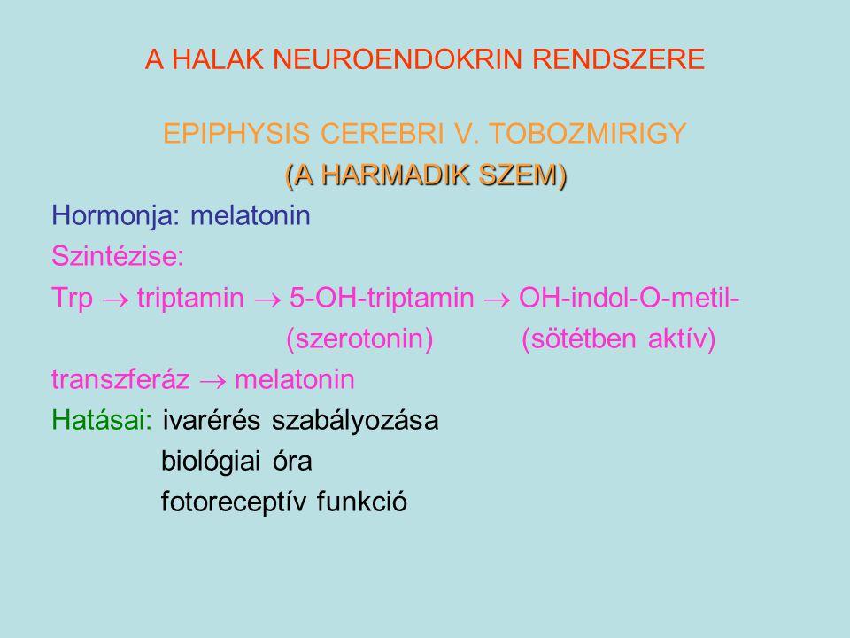 A HALAK NEUROENDOKRIN RENDSZERE EPIPHYSIS CEREBRI V. TOBOZMIRIGY (A HARMADIK SZEM) Hormonja: melatonin Szintézise: Trp  triptamin  5-OH-triptamin 