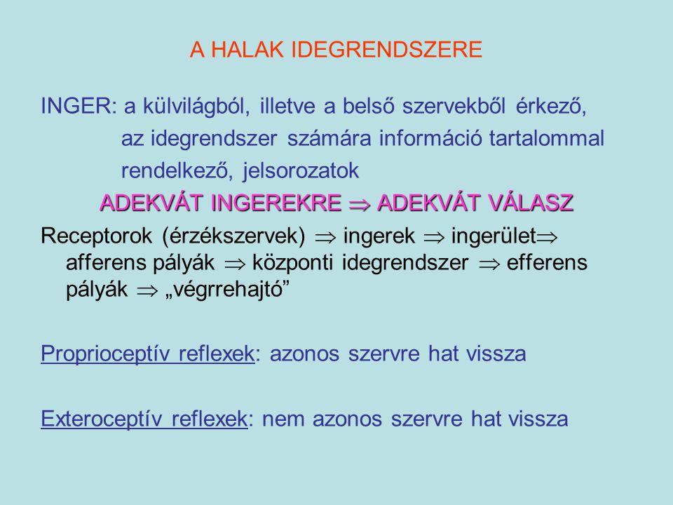 A HALAK IDEGRENDSZERE INGER: a külvilágból, illetve a belső szervekből érkező, az idegrendszer számára információ tartalommal rendelkező, jelsorozatok
