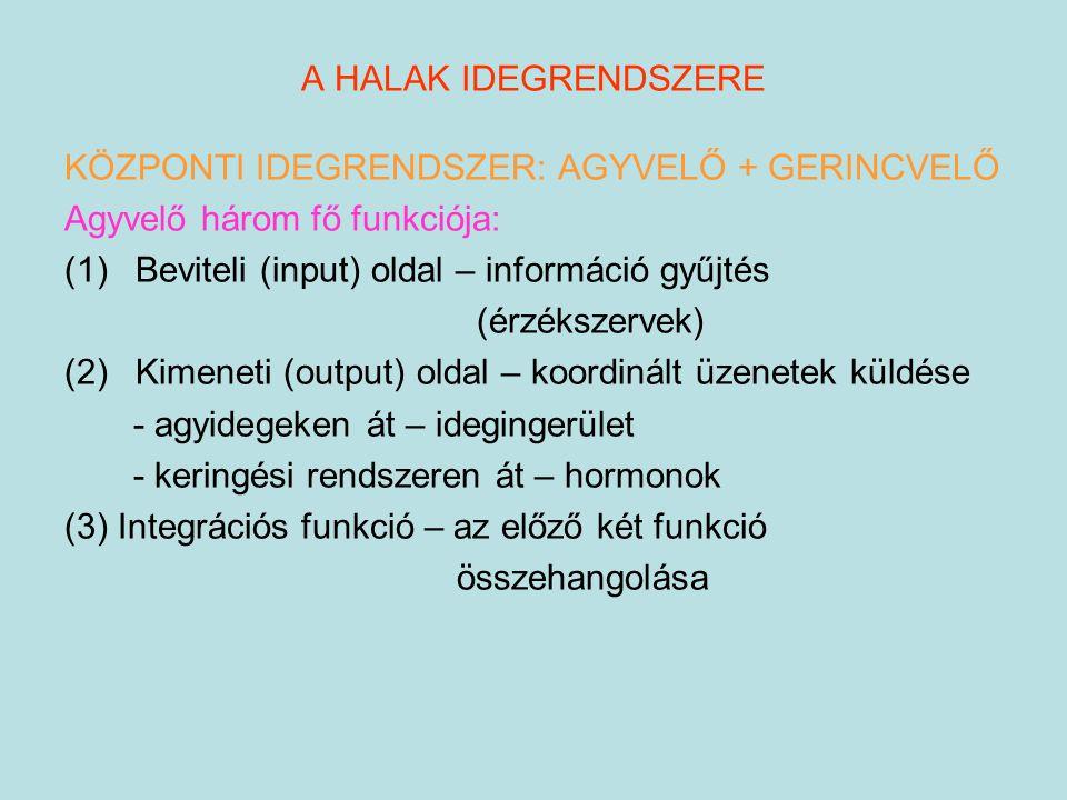 A HALAK IDEGRENDSZERE KÖZPONTI IDEGRENDSZER: AGYVELŐ + GERINCVELŐ Agyvelő három fő funkciója: (1)Beviteli (input) oldal – információ gyűjtés (érzéksze