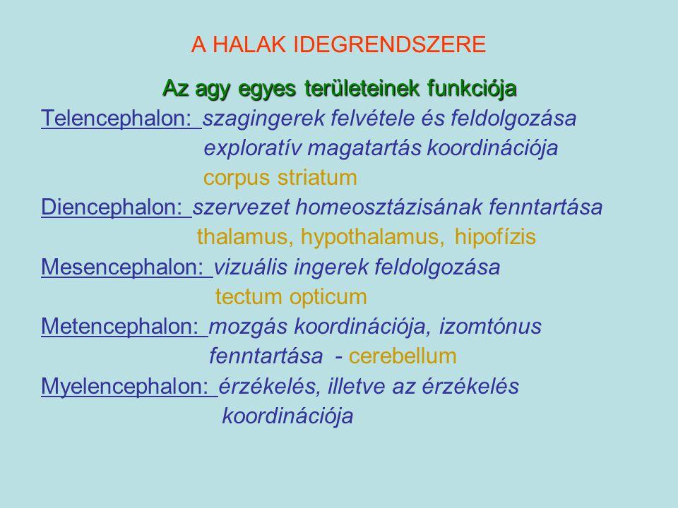 A HALAK IDEGRENDSZERE Az agy egyes területeinek funkciója Telencephalon: szagingerek felvétele és feldolgozása exploratív magatartás koordinációja cor