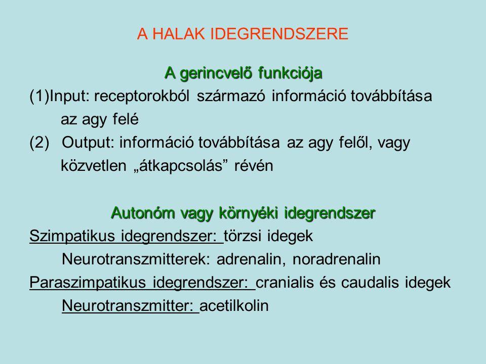A HALAK IDEGRENDSZERE A gerincvelő funkciója (1)Input: receptorokból származó információ továbbítása az agy felé (2)Output: információ továbbítása az