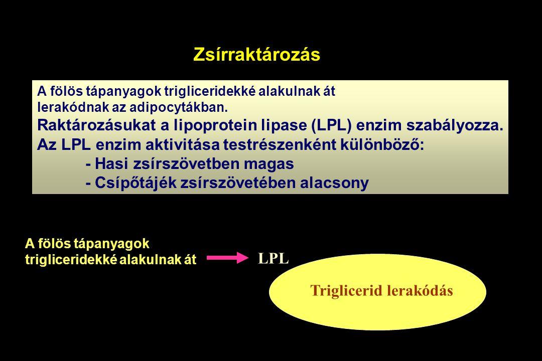 Zsírraktározás A fölös tápanyagok trigliceridekké alakulnak át lerakódnak az adipocytákban. Raktározásukat a lipoprotein lipase (LPL) enzim szabályozz