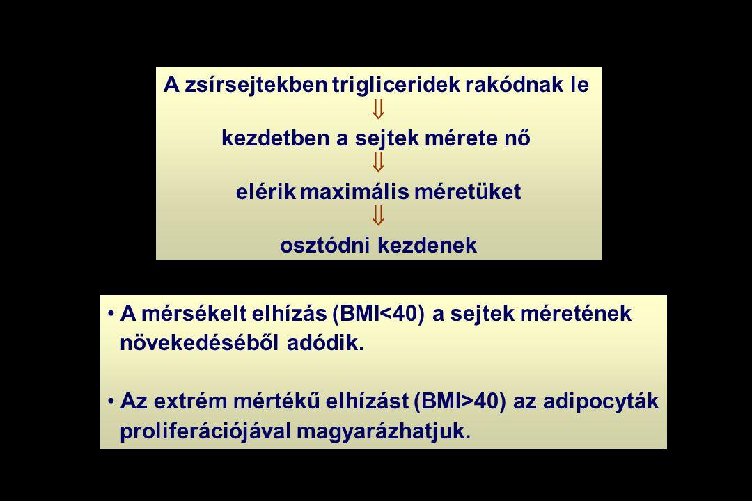 A zsírsejtekben trigliceridek rakódnak le  kezdetben a sejtek mérete nő  elérik maximális méretüket  osztódni kezdenek • A mérsékelt elhízás (BMI<4