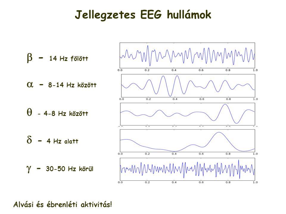 Jellegzetes EEG hullámok  - 14 Hz fölött  - 8-14 Hz között  - 4-8 Hz között  - 4 Hz ala tt  - 30-50 Hz körül Alvási és ébrenléti aktivitás!