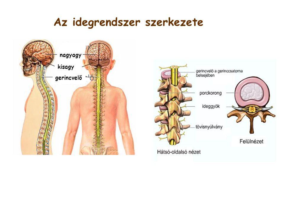 Az idegrendszer szerkezete nagyagy kisagy gerincvelő