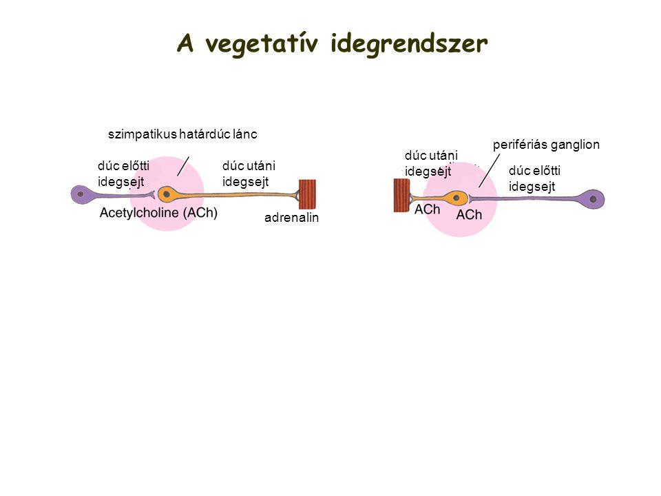 A vegetatív idegrendszer adrenalin szimpatikus határdúc lánc perifériás ganglion dúc előtti idegsejt dúc utáni idegsejt dúc előtti idegsejt dúc utáni
