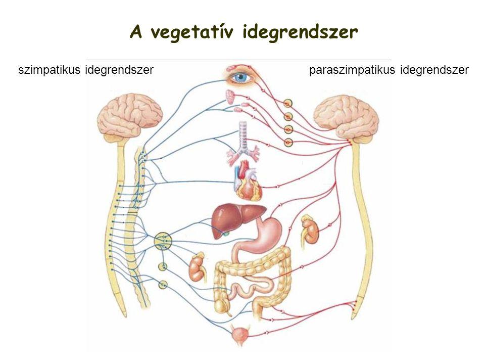 A vegetatív idegrendszer szimpatikus idegrendszerparaszimpatikus idegrendszer