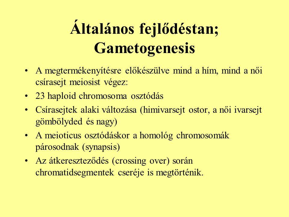 Általános fejlődéstan; Gametogenesis •A megtermékenyítésre előkészülve mind a hím, mind a női csírasejt meiosist végez: •23 haploid chromosoma osztódá