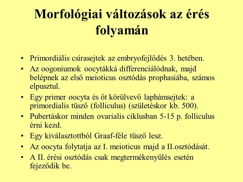 Morfológiai változások az érés folyamán •Primordiális csírasejtek az embryofejlődés 3. hetében. •Az oogoniumok oocytákká differenciálódnak, majd belép
