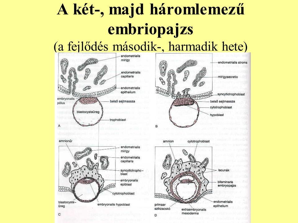 A két-, majd háromlemezű embriopajzs (a fejlődés második-, harmadik hete)