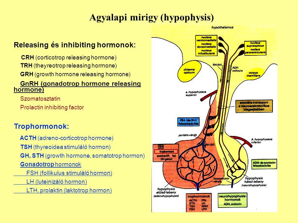 Agyalapi mirigy (hypophysis) Releasing és inhibiting hormonok: CRH (corticotrop releasing hormone) TRH (theyreotrop releasing hormone) GRH (growth hor