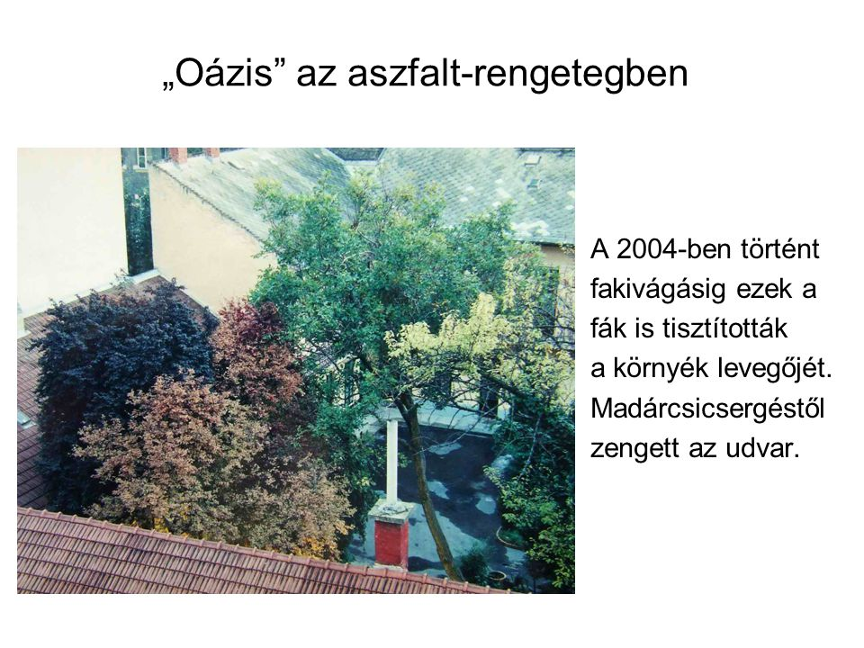 """""""Oázis"""" az aszfalt-rengetegben A 2004-ben történt fakivágásig ezek a fák is tisztították a környék levegőjét. Madárcsicsergéstől zengett az udvar."""