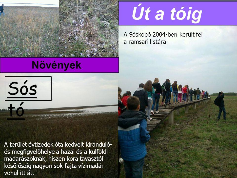 Sós tó Út a tóig Növények A Sóskopó 2004-ben került fel a ramsari listára.