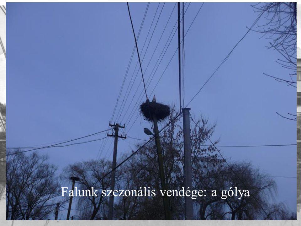 Falunk szezonális vendége: a gólya