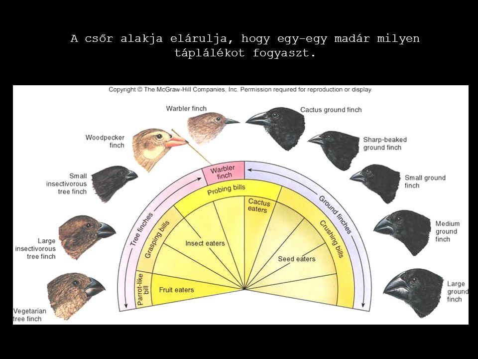 A csőr alakja elárulja, hogy egy-egy madár milyen táplálékot fogyaszt. A csőr alakja elárulja, hogy egy-egy madár milyen táplálékot fogyaszt.