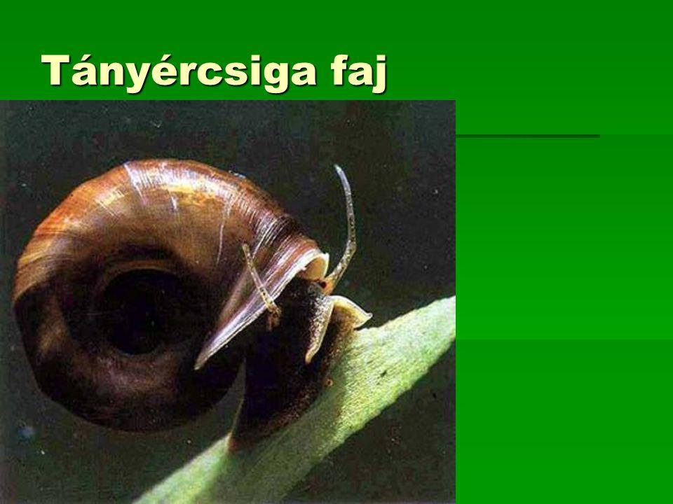 Tányércsiga faj