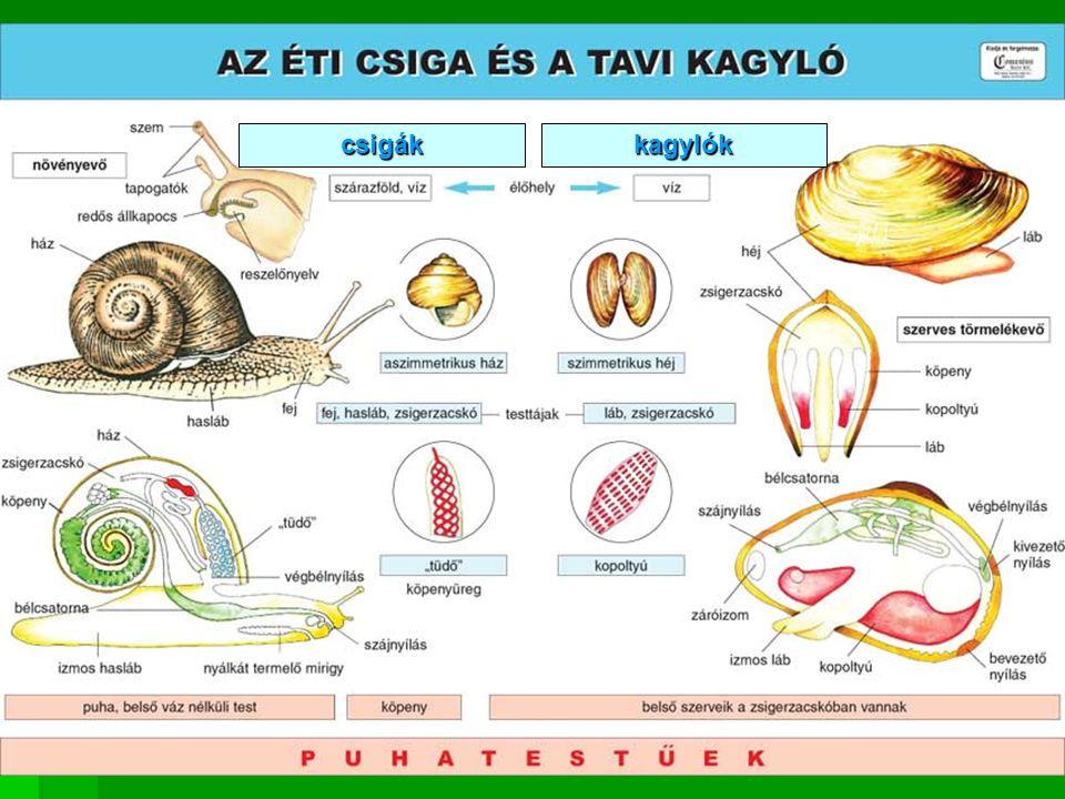 csigákkagylók