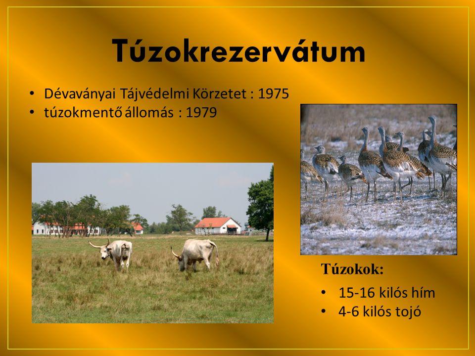 Túzokrezervátum • Dévaványai Tájvédelmi Körzetet : 1975 • túzokmentő állomás : 1979 • 15-16 kilós hím • 4-6 kilós tojó Túzokok: