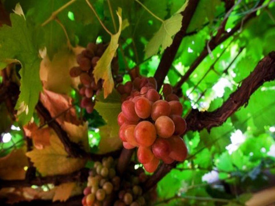A világ legöregebb – egyes vélemények szerint 450 éves –, középkori szőlőtőkéje terem még ma is a belvárosban, a Papnövelde utcában, azonban sajnos ez