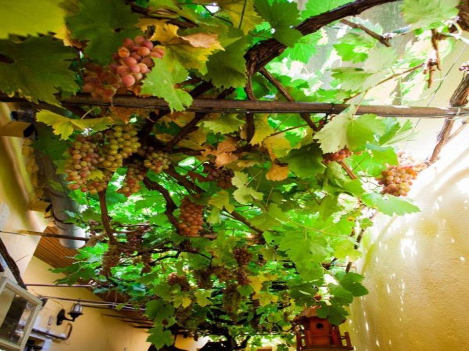 Világszám lehetne A hihetetlen kort megért szőlőt ma már 20 éve a ház tulajdonosa gondozza, de valamikor az Örökségvédelem gondoskodott a megfelelő me