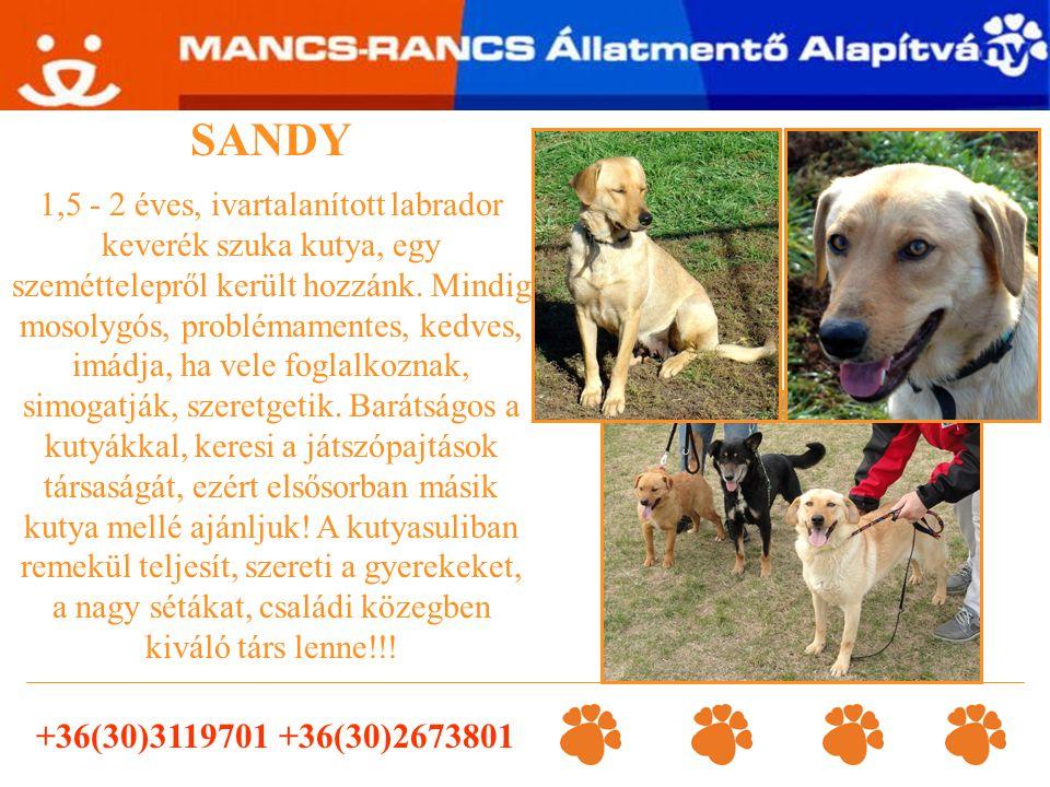 SANDY 1,5 - 2 éves, ivartalanított labrador keverék szuka kutya, egy szeméttelepről került hozzánk. Mindig mosolygós, problémamentes, kedves, imádja,