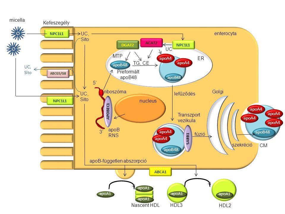 NPC1L1 ABCG5/G8 apoB48 apoA1 apoB48 apoB45 apoB48 apoA4 apoB48 apoA4 ABCA1 apoA1 enterocyta ER Golgi nucleus micella Kefeszegély Nascent HDLHDL3 HDL2