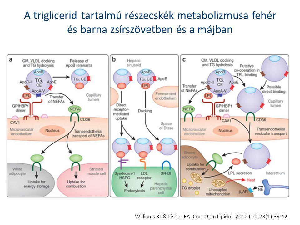 Williams KJ & Fisher EA. Curr Opin Lipidol. 2012 Feb;23(1):35-42. A triglicerid tartalmú részecskék metabolizmusa fehér és barna zsírszövetben és a má