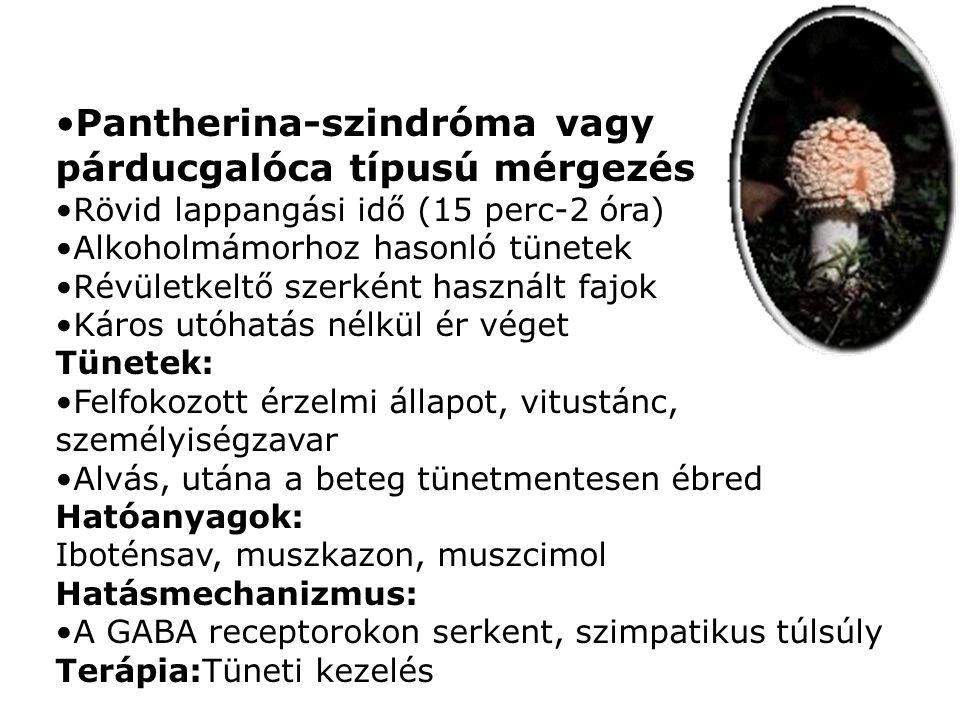 •Pantherina-szindróma vagy párducgalóca típusú mérgezés •Rövid lappangási idő (15 perc-2 óra) •Alkoholmámorhoz hasonló tünetek •Révületkeltő szerként