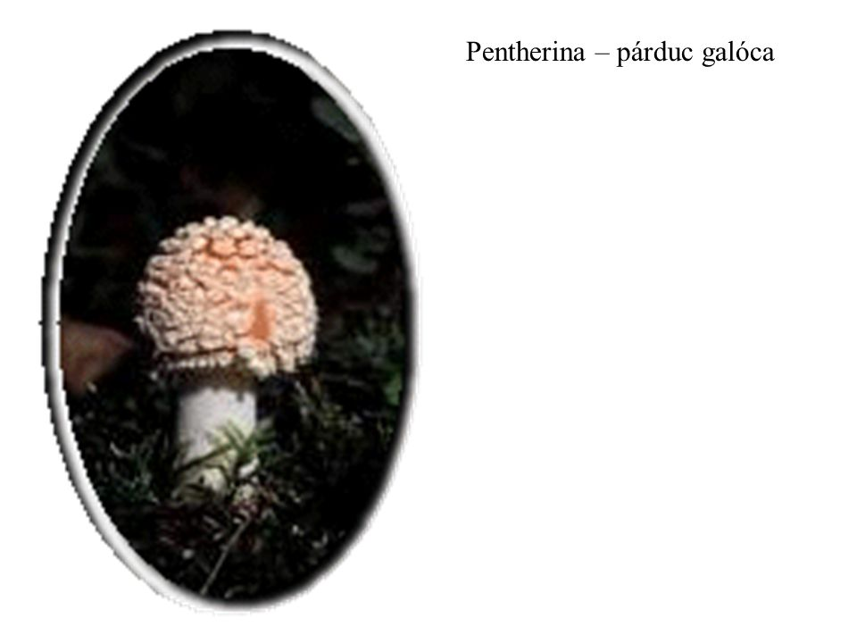 Pentherina – párduc galóca