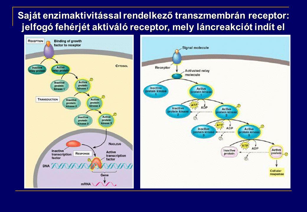 Saját enzimaktivitással rendelkező transzmembrán receptor: jelfogó fehérjét aktiváló receptor, mely láncreakciót indít el
