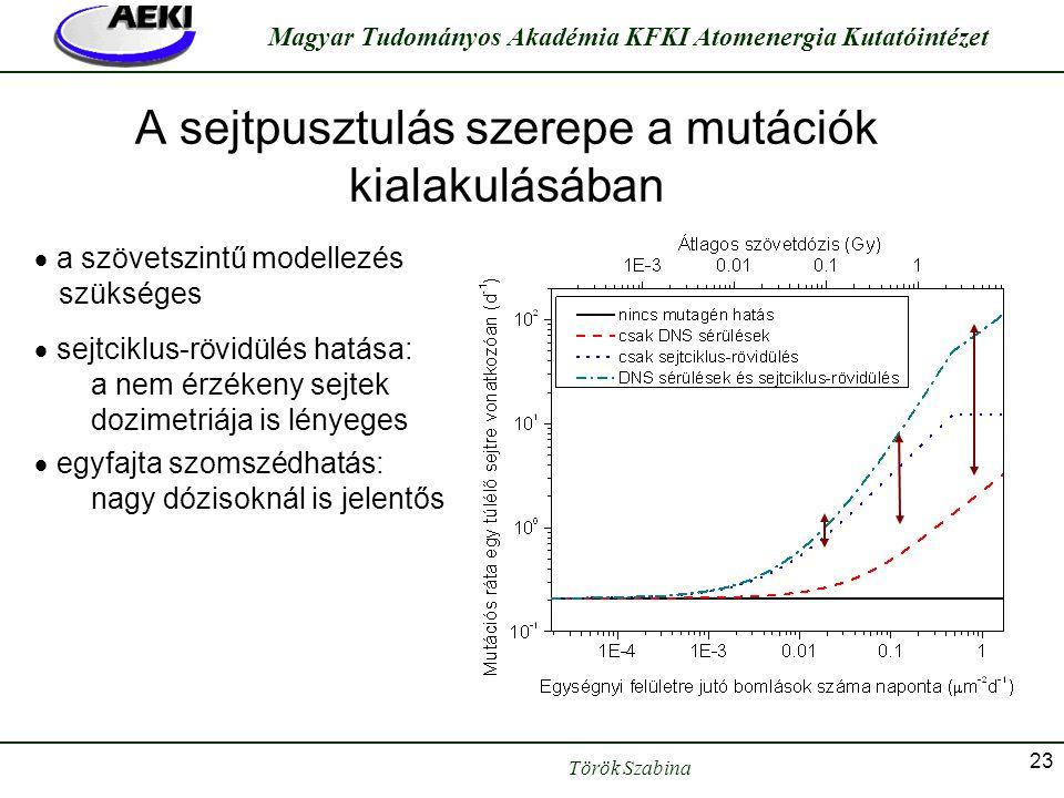 Török Szabina Magyar Tudományos Akadémia KFKI Atomenergia Kutatóintézet 23 A sejtpusztulás szerepe a mutációk kialakulásában  a szövetszintű modellez