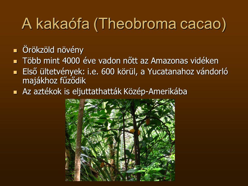 A kakaófa (Theobroma cacao)  Örökzöld növény  Több mint 4000 éve vadon nőtt az Amazonas vidéken  Első ültetvények: i.e. 600 körül, a Yucatanahoz vá