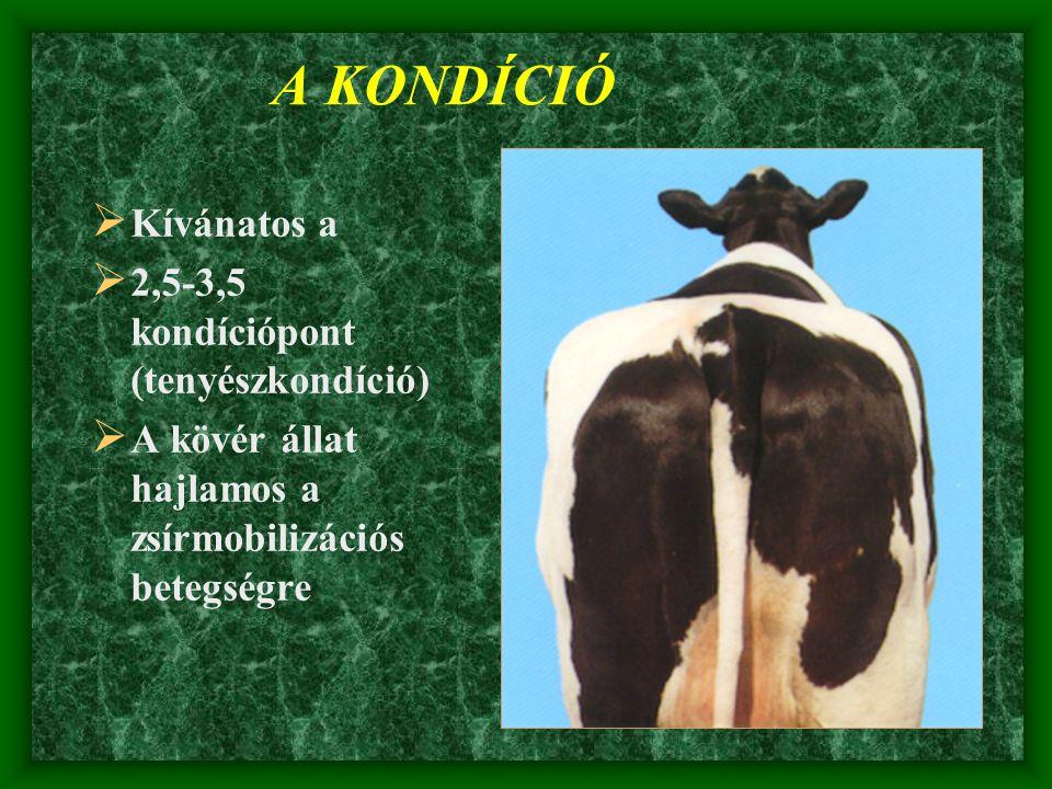 A KONDÍCIÓ  Kívánatos a  2,5-3,5 kondíciópont (tenyészkondíció)  A kövér állat hajlamos a zsírmobilizációs betegségre