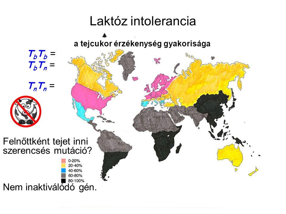 Laktóz intolerancia T b T b = felnőttként is bontja, ezért szereti a tejet T b T n = csak gyerekként bontja jól, felnőttként nem szereti T n T n = gye