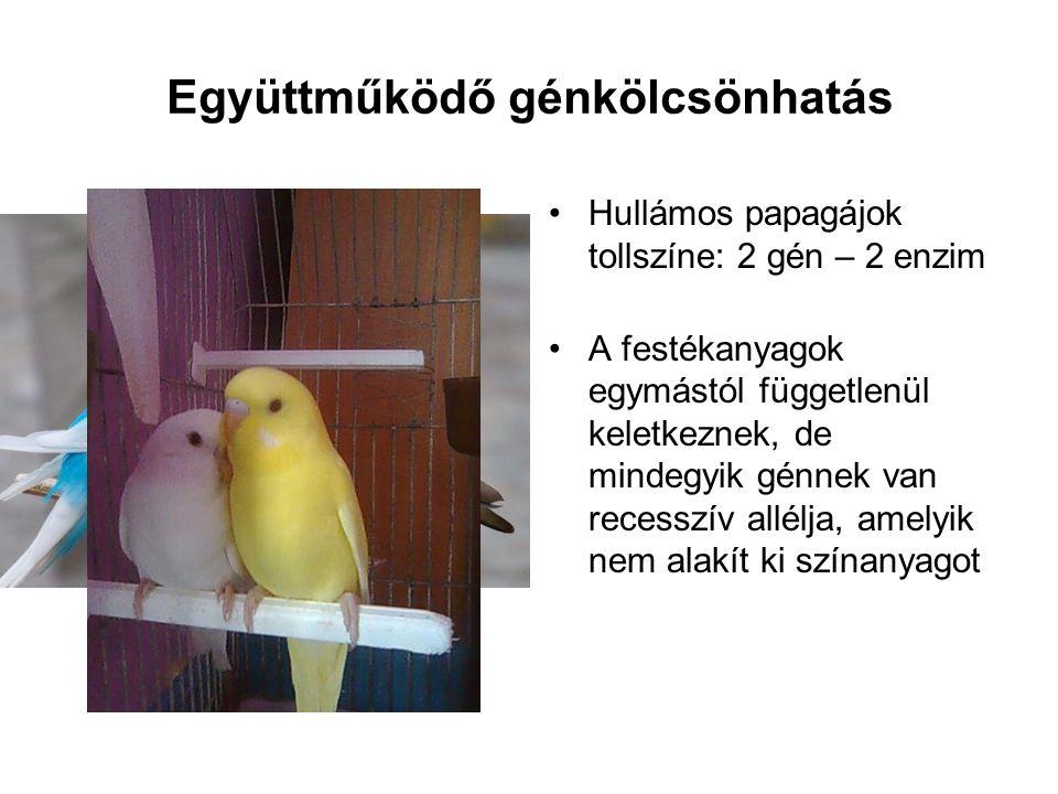 Együttműködő génkölcsönhatás •Hullámos papagájok tollszíne: 2 gén – 2 enzim •A festékanyagok egymástól függetlenül keletkeznek, de mindegyik génnek va