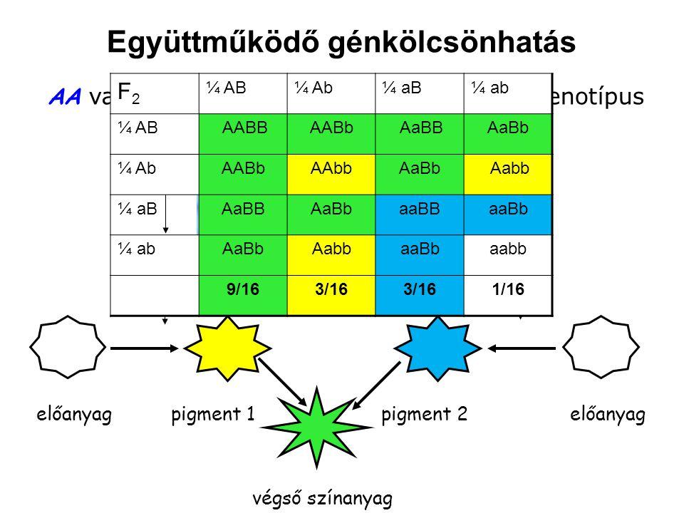 gén 1 gén 2 előanyagpigment 1 végső színanyag enzim 1enzim 2 AA vagy Aa genotípus BB vagy Bb genotípus pigment 2előanyag F2F2 ¼ AB¼ Ab¼ aB¼ ab ¼ AB AA
