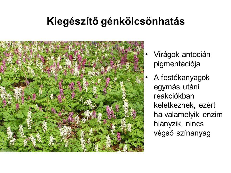 Kiegészítő génkölcsönhatás •Virágok antocián pigmentációja •A festékanyagok egymás utáni reakciókban keletkeznek, ezért ha valamelyik enzim hiányzik,