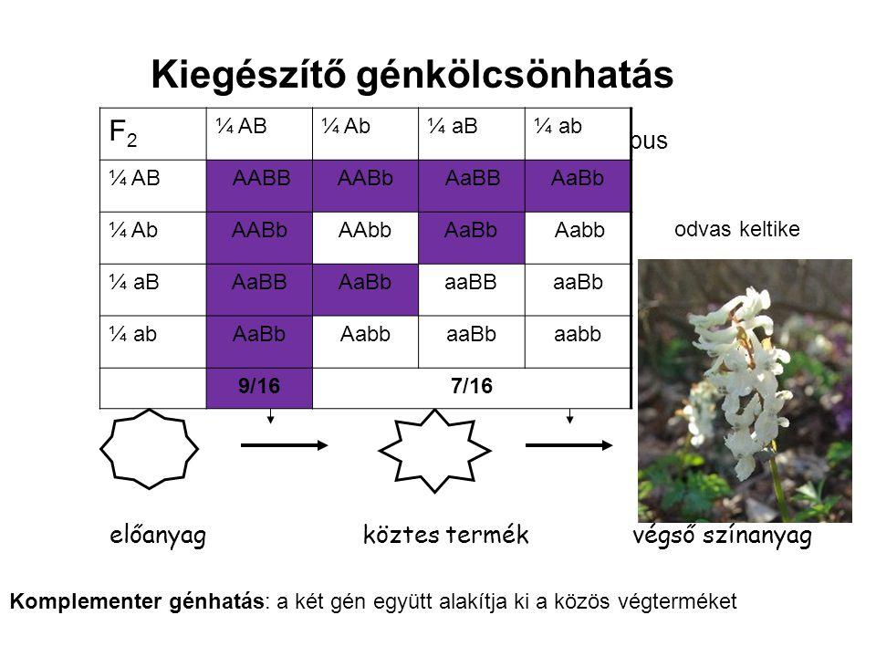 gén 1 előanyagköztes termék végső színanyag AA vagy Aa genotípus BB vagy Bb genotípus Komplementer génhatás: a két gén együtt alakítja ki a közös végt