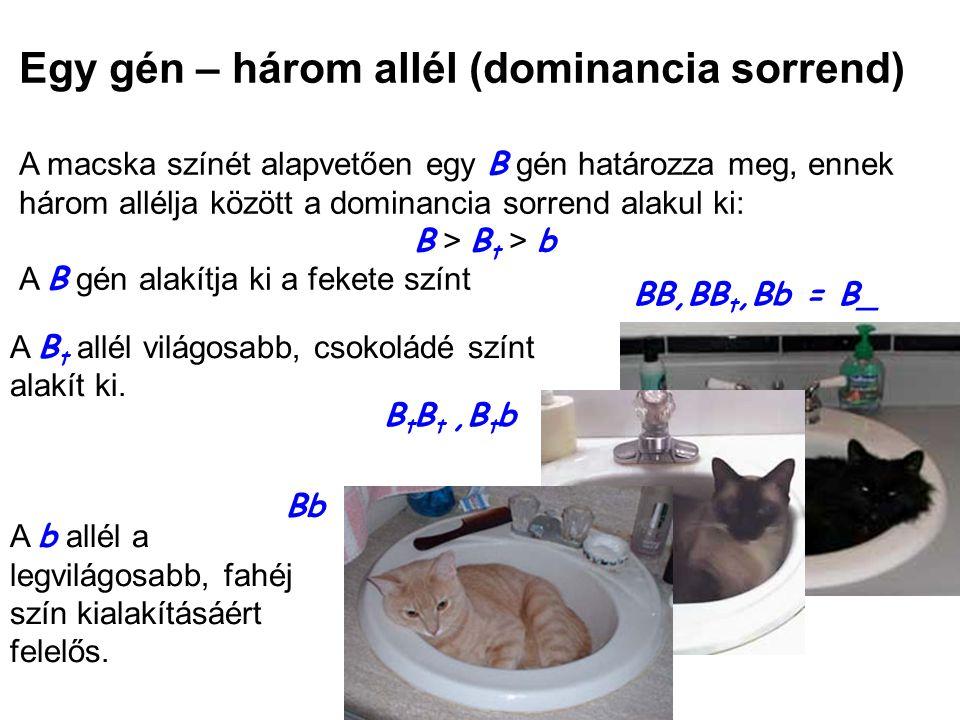 Egy gén – három allél (dominancia sorrend) A macska színét alapvetően egy B gén határozza meg, ennek három allélja között a dominancia sorrend alakul