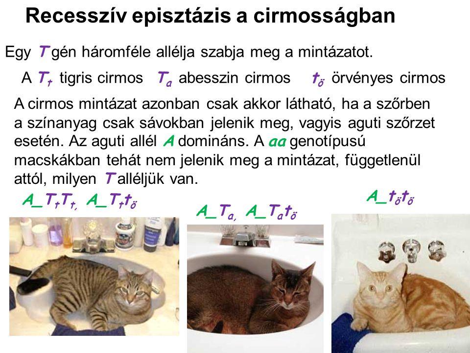 Recesszív episztázis a cirmosságban Egy T gén háromféle allélja szabja meg a mintázatot. A_T t T t, A_T t t ö A_T a, A_T a t ö A_t ö t ö A T t tigris