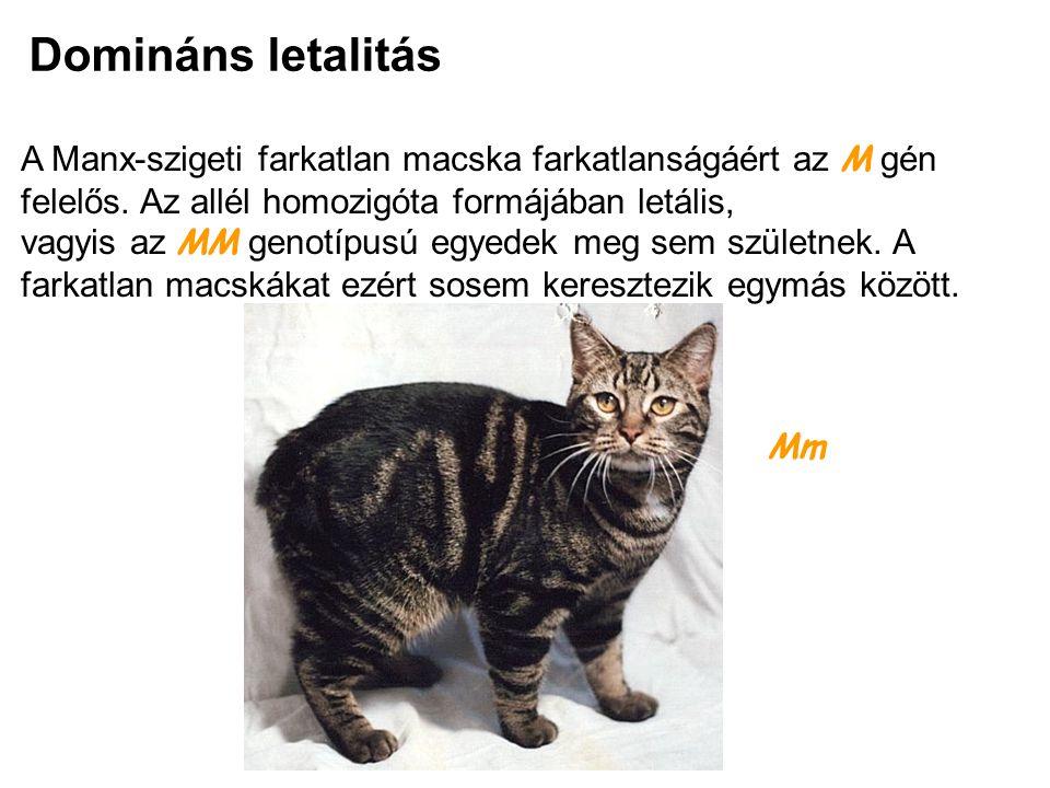 Domináns letalitás A Manx-szigeti farkatlan macska farkatlanságáért az M gén felelős. Az allél homozigóta formájában letális, vagyis az MM genotípusú