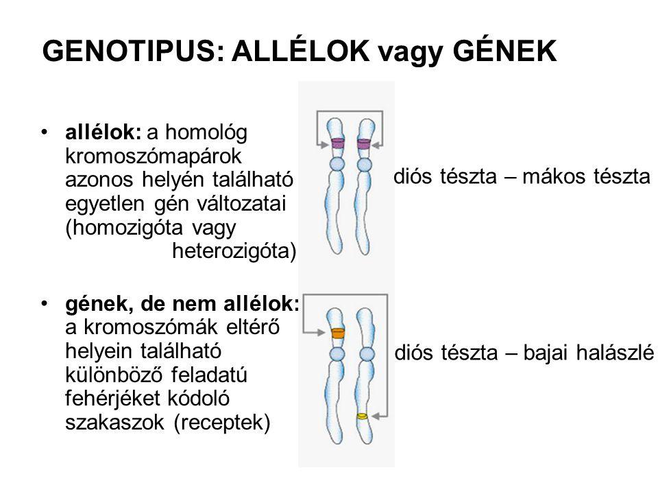 GENOTIPUS: ALLÉLOK vagy GÉNEK •allélok: a homológ kromoszómapárok azonos helyén található egyetlen gén változatai (homozigóta vagy heterozigóta) •géne