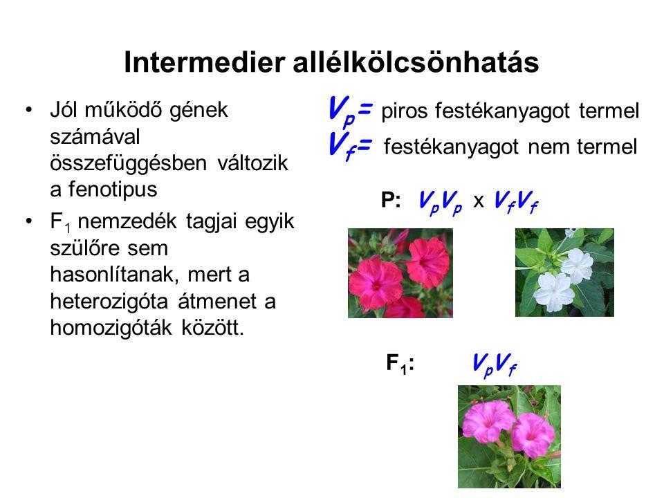 Intermedier allélkölcsönhatás •Jól működő gének számával összefüggésben változik a fenotipus nem teljes dominancia •F 2 nemzedék tagjaiban mindhárom fenotípus megjelenik 1:2:1 arányban VpVp VfVf VpVp VfVf V p = piros festékanyagot termel V f = festékanyagot nem termel F 1 : V p V f x V p V f F2:F2: