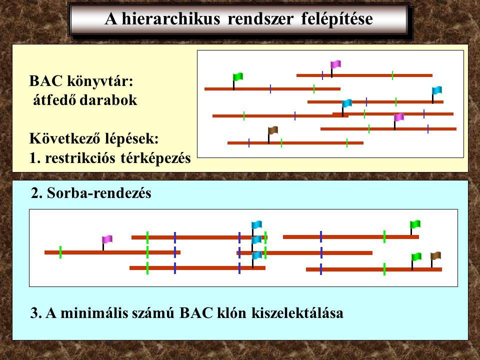 A hierarchikus rendszer felépítése 150000 bp darabok Izolált kromoszómák feldarabolása ritkán vágó restrikciós endonukleázokkal A keletkezett darabok